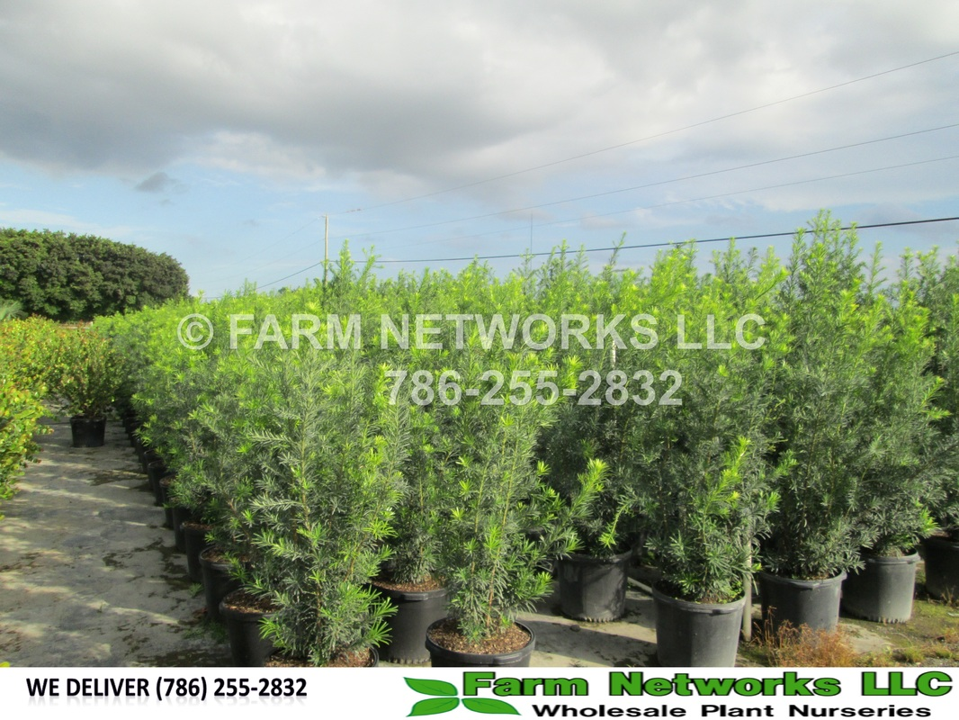 Broward County Podocarpus For In Nursery Florida 786