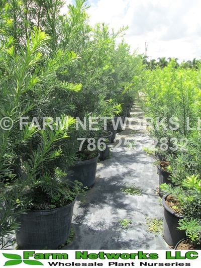 South Florida Podocarpus Nurseries Nursery 786 255 2832 We