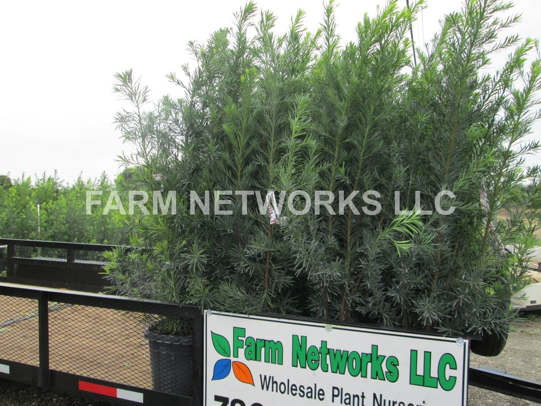 Where To Podocarpus In Broward County Florida Nursery 786 255 2832 We Deliver