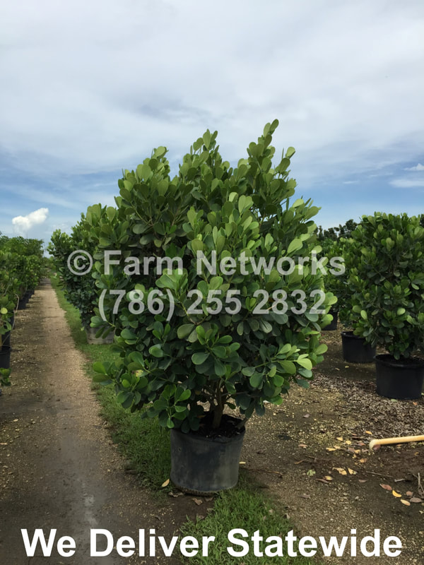 South Florida Nursery Plants And Trees Podocarpus 786 255 2832 We Deliver
